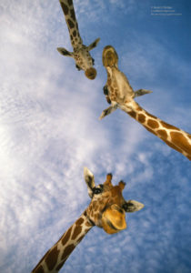 Someone to Watch Over You, Three Giraffes float overhead at Busch Gardens. Printed on  Silky Gloss paper