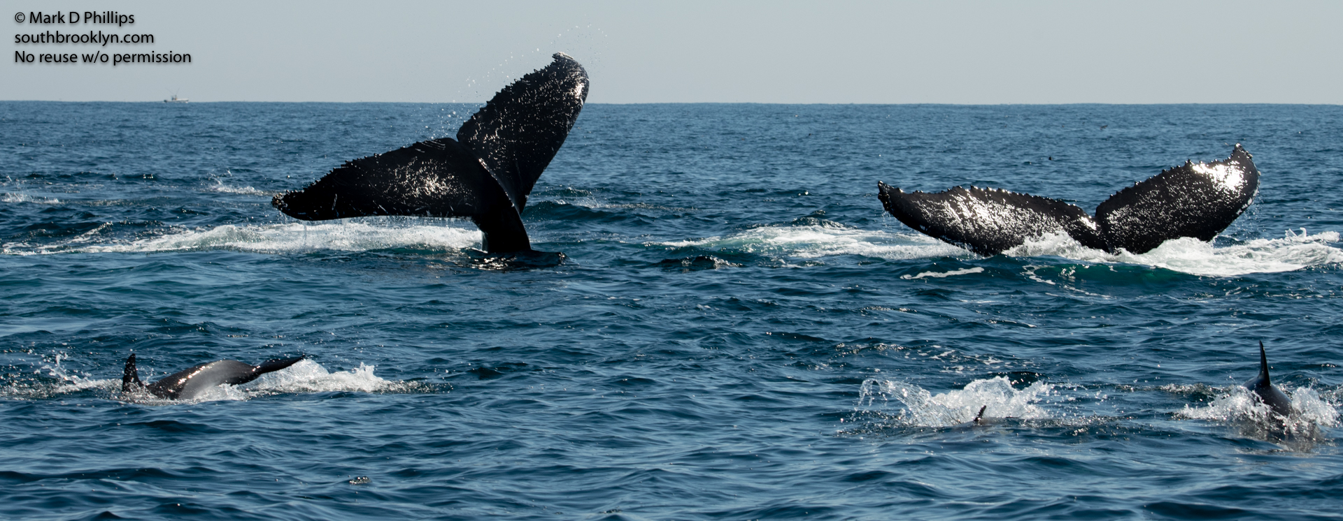Whales and dolphins in feeding frenzy during Fishing trip on August 1, 2020.
