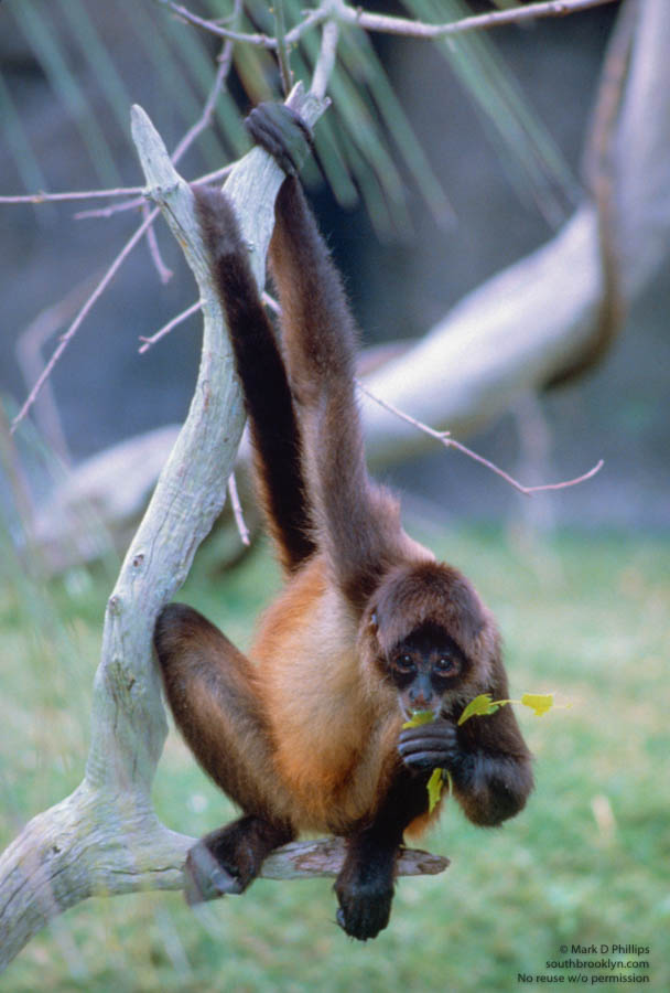 The Spider Monkey who loved me at Lowry Park Zoo in Tampa, Florida