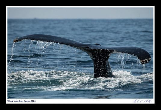 13 x 19 Framed Print, ©Mark D Phillips; Humpback whale lifts its tail from the water as it dives on August 1, 2020. Do you you call it Sounding or Fluking?